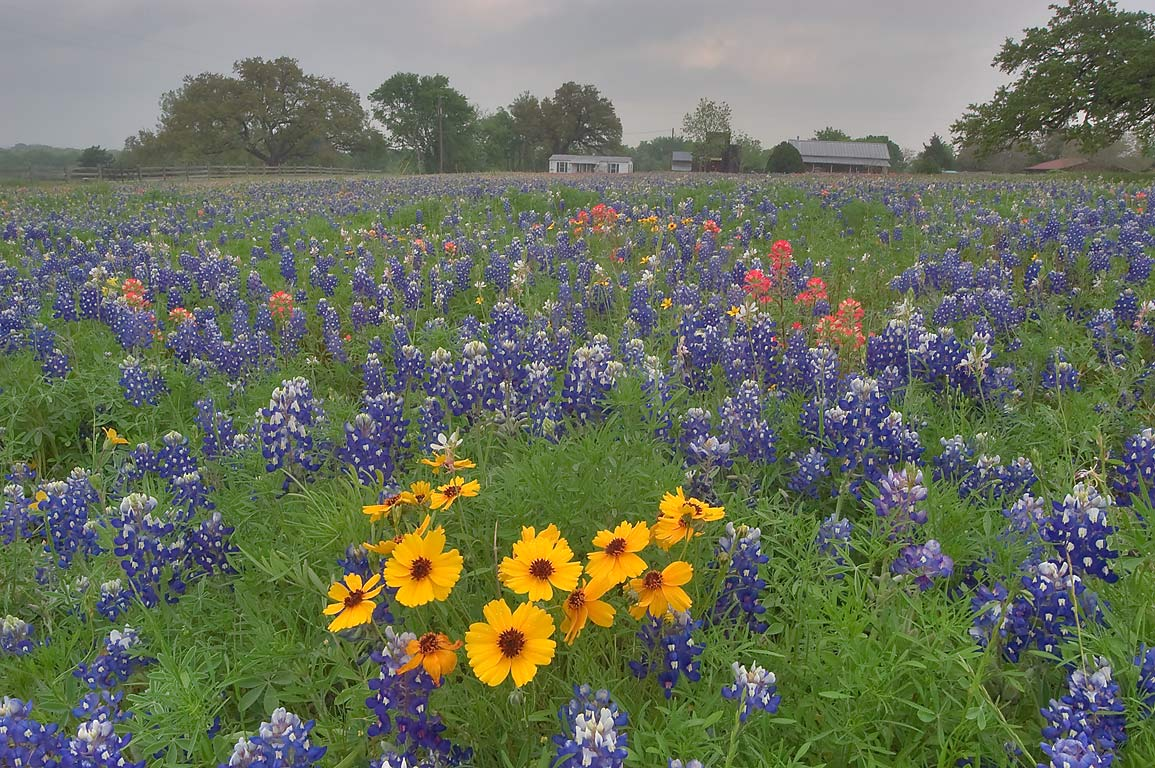 Wildflowers in Old Baylor Park. Independence, Texas