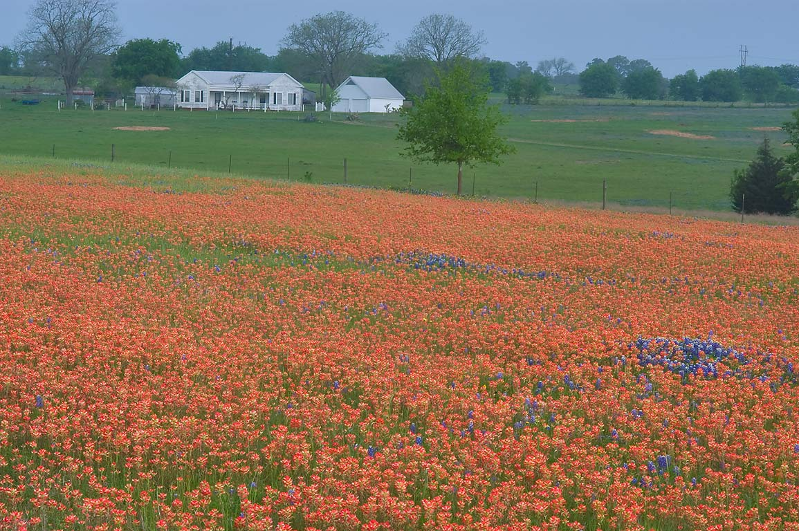 Red field of Indian paintbrush near Old Independence Rd., near Brenham. Texas
