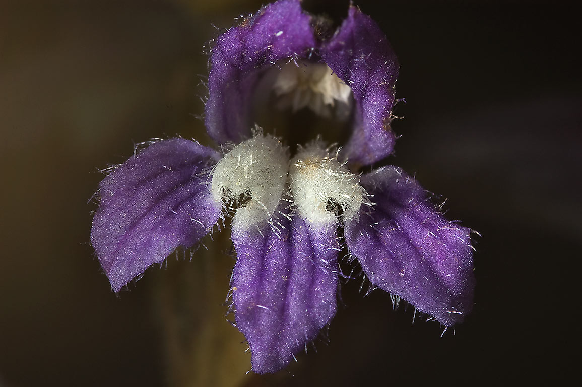 Close up of a flower of Branched Broomrape (hemp...Bush Dr.. College Station, Texas