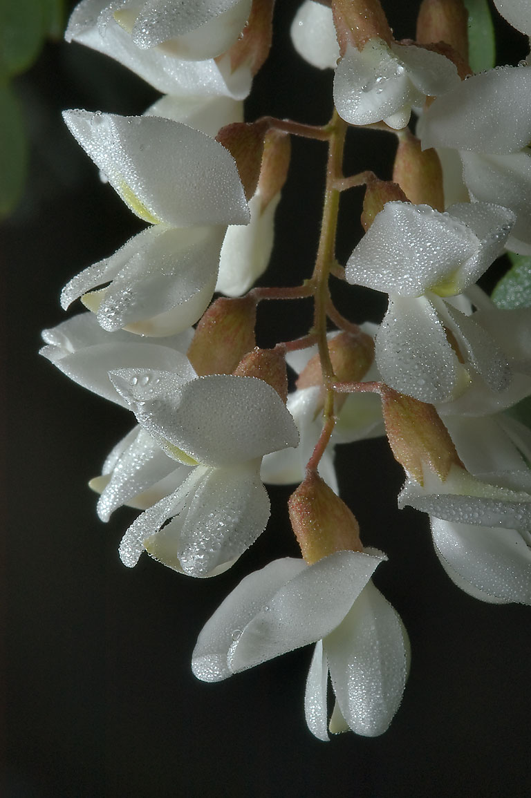 Drooping flowers of black locust (Robinia...M University. College Station, Texas