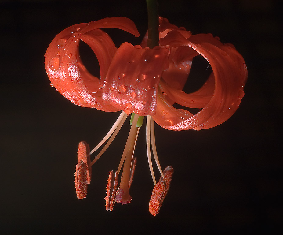 Turk's Cap Lily (Lilium tenuifolium) in Mercer...Gardens. Humble (Houston area), Texas