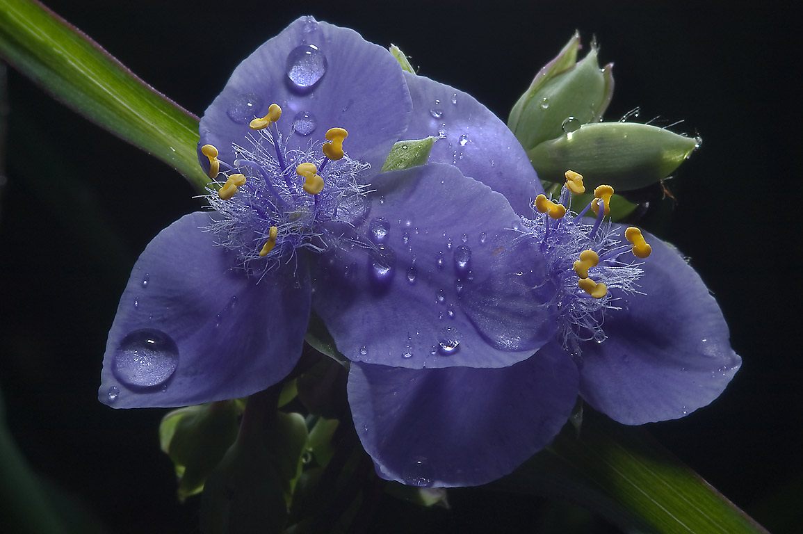 Blue flowers of spiderwort (Tradescantia) in...Gardens. Humble (Houston area), Texas