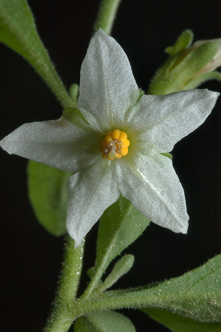 American nightshade (Solanum ptycanthum) on a...Gardens. Humble (Houston area), Texas