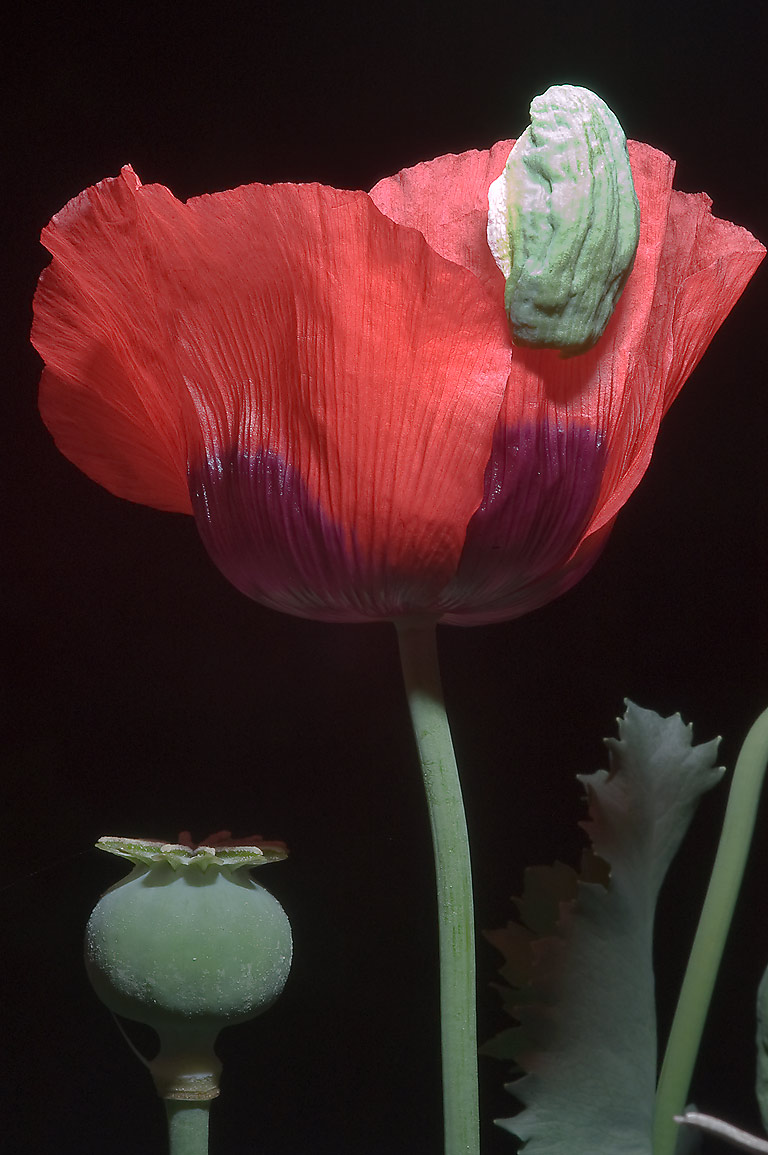 Red poppy in TAMU Holistic Garden in Texas A&M University. College Station, Texas