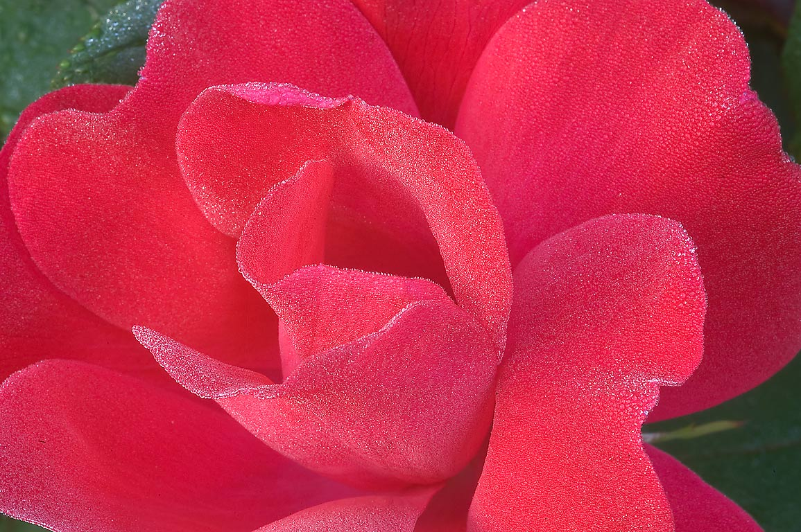 Red rose with dew in TAMU Horticultural Gardens...M University. College Station, Texas