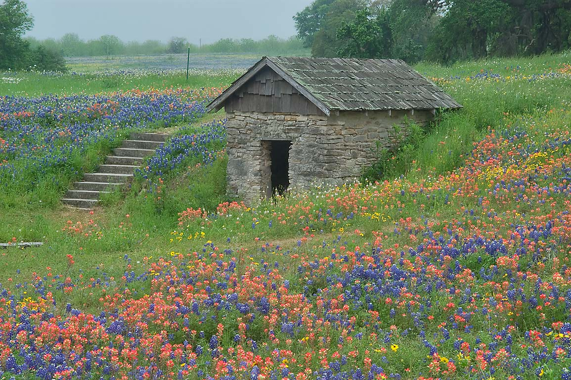 Wildflowers around springhouse south from FM 390...Old Baylor Park. Independence, Texas