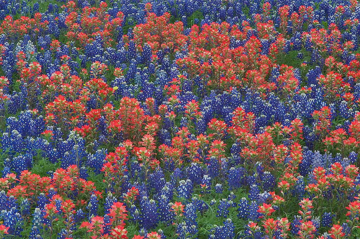 Bluebonnets and paintbrush at 9370 Old...Ranch, north from Brenham. Texas