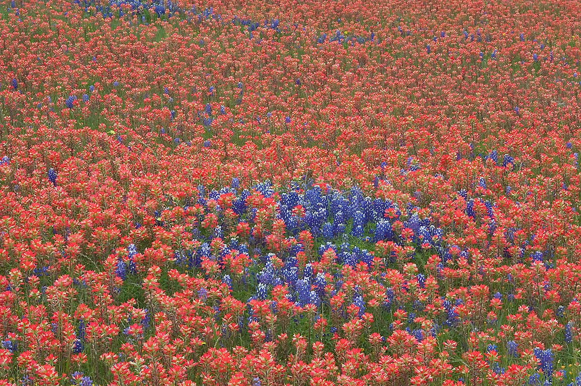 Indian paintbrush with bluebonnet flowers near...Ranch, north from Brenham. Texas