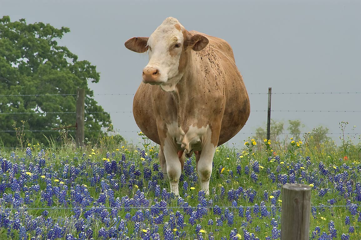 Brown cow with a dewlap standing in bluebonnets...Queke Rd. north from Brenham. Texas