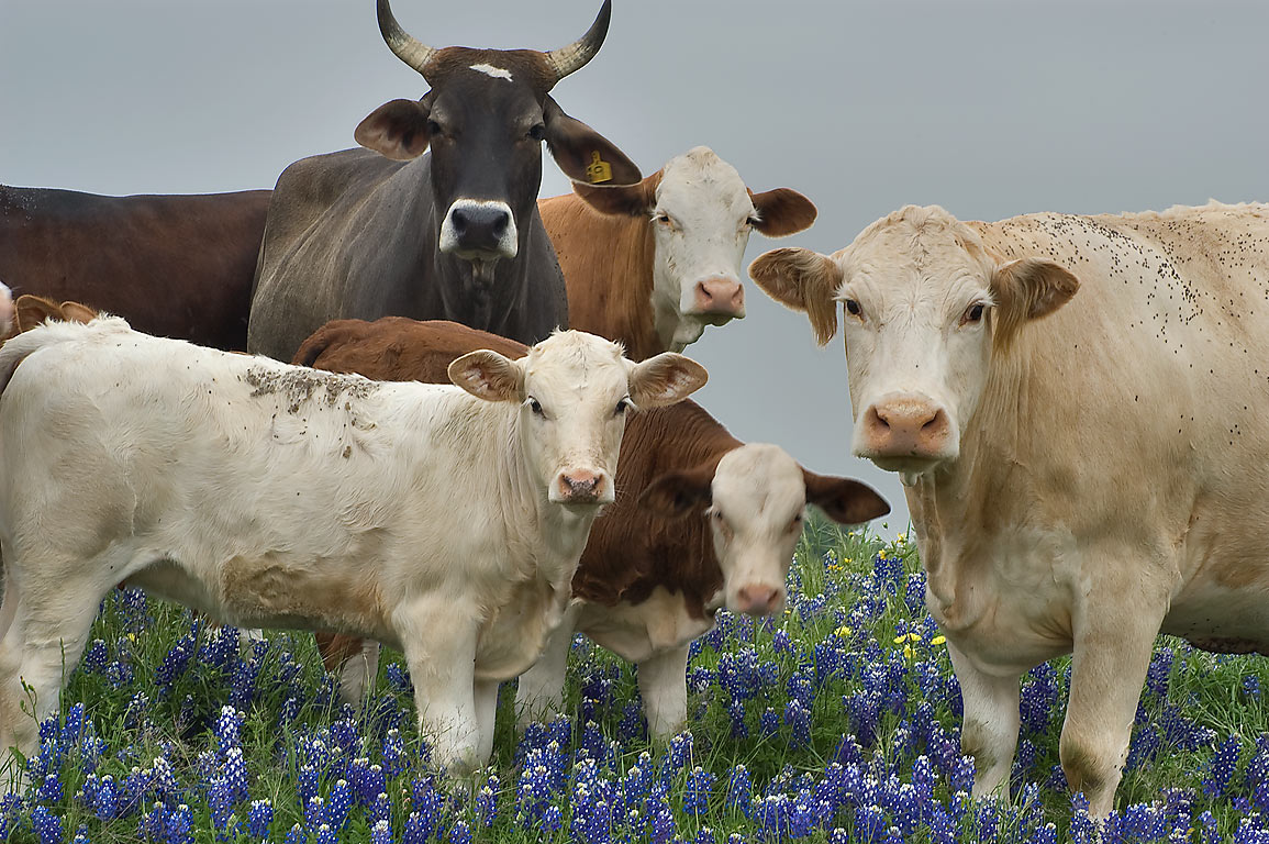 "Politically correct"" portrait of cows standing in...Queke Rd. north from Brenham. Texas"