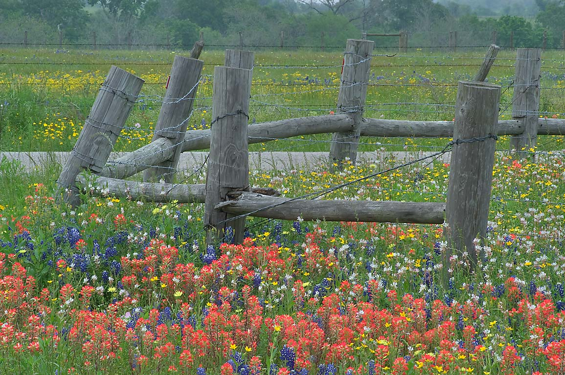 Wildflowers along a fence on Machemehl Rd., a...of Queke Rd. north from Brenham. Texas