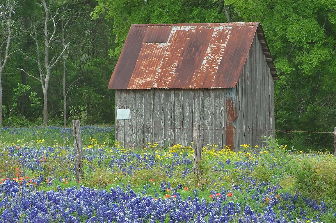 Shack with bluebonnets near Cedar Hill Rd. north from Brenham. Texas