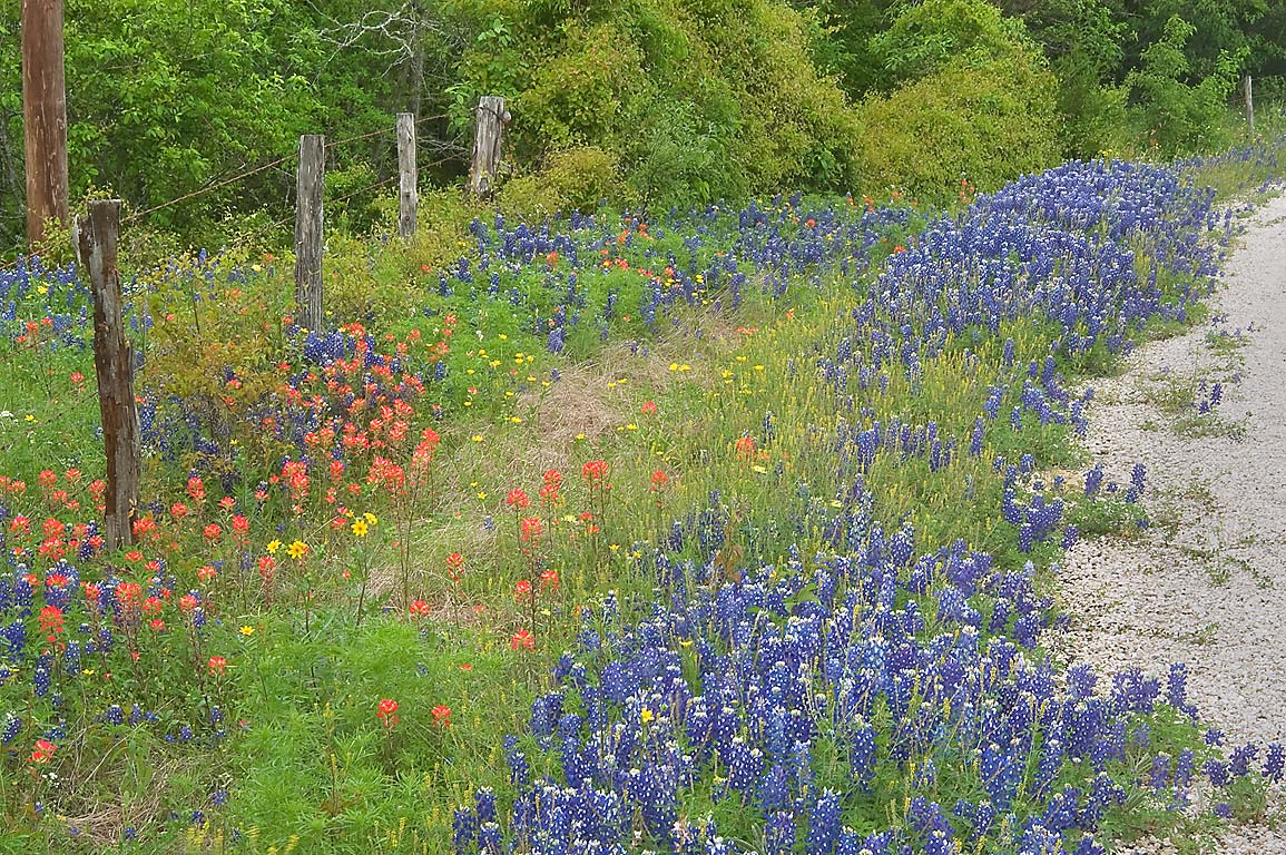 Roadside with bluebonnets of Cedar Hill Rd. north from Brenham. Texas