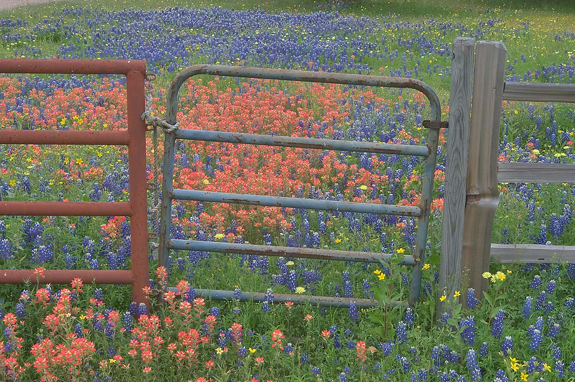 Gate in a fence with wildflowers on Christmas Rd. east from Gay Hill. Texas
