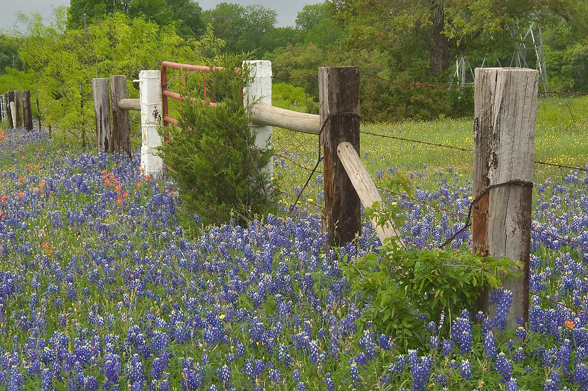 Bluebonnets along a fence on roadside of Dunnheim Rd. east from Gay Hill. Texas