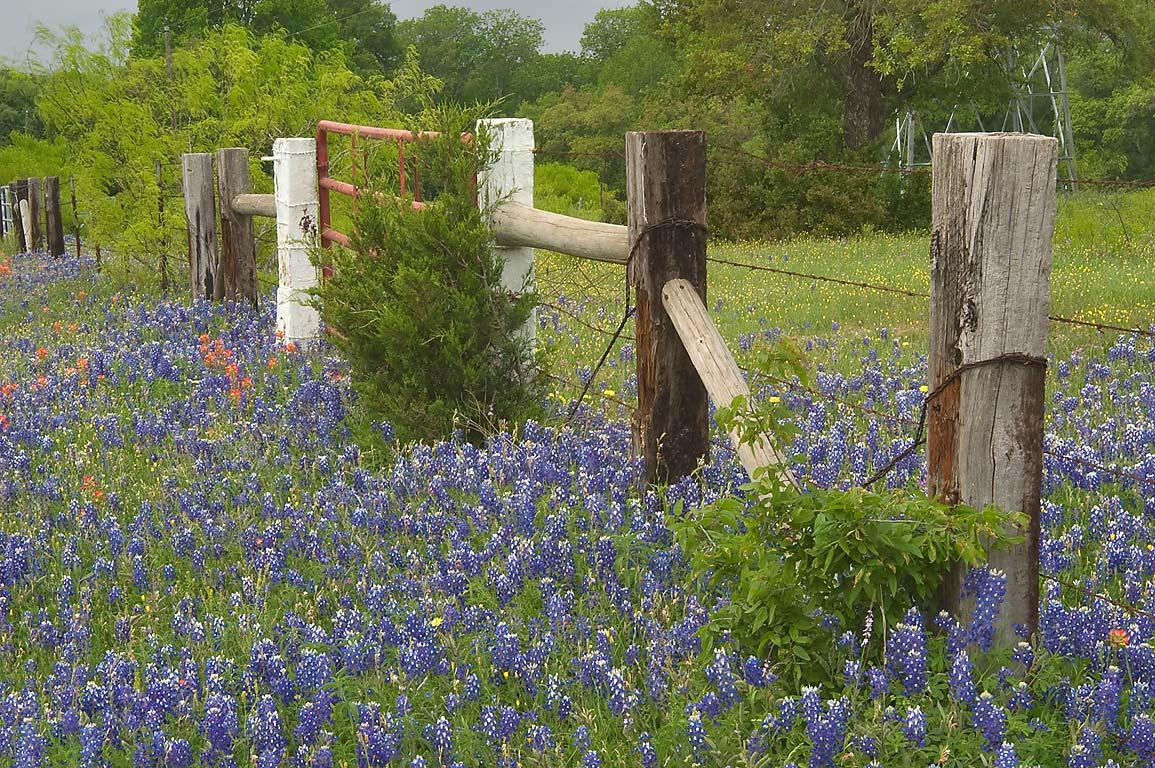 Photo bluebonnets along a fence on roadside of