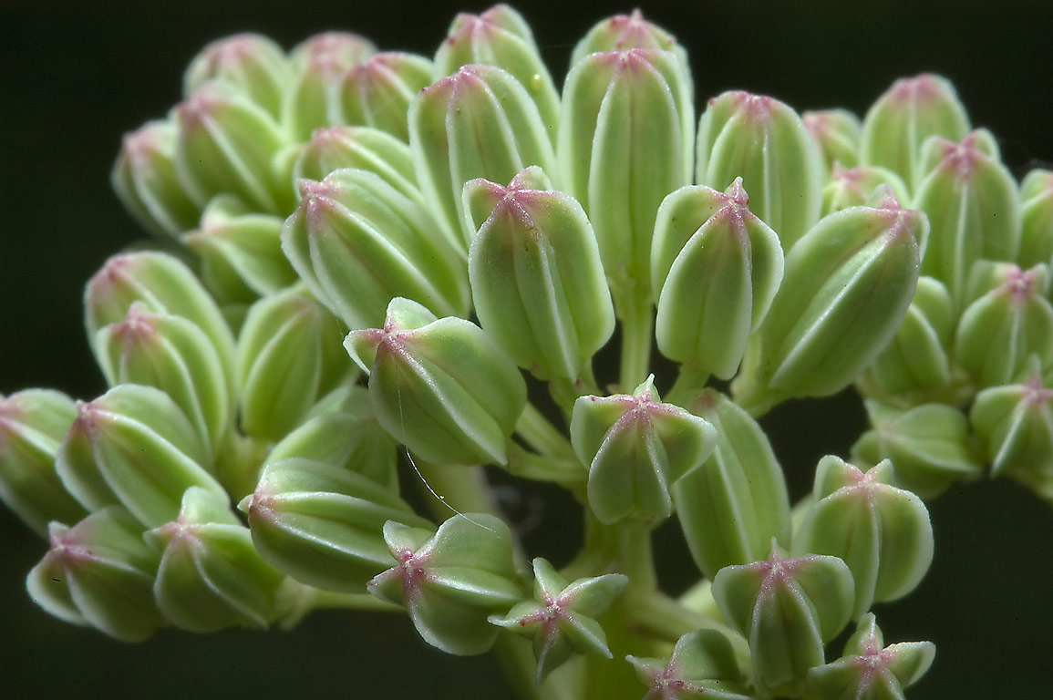 Flower buds of prairie Indian plantain (Cacalia...Rd. south-west from Brenham. Texas