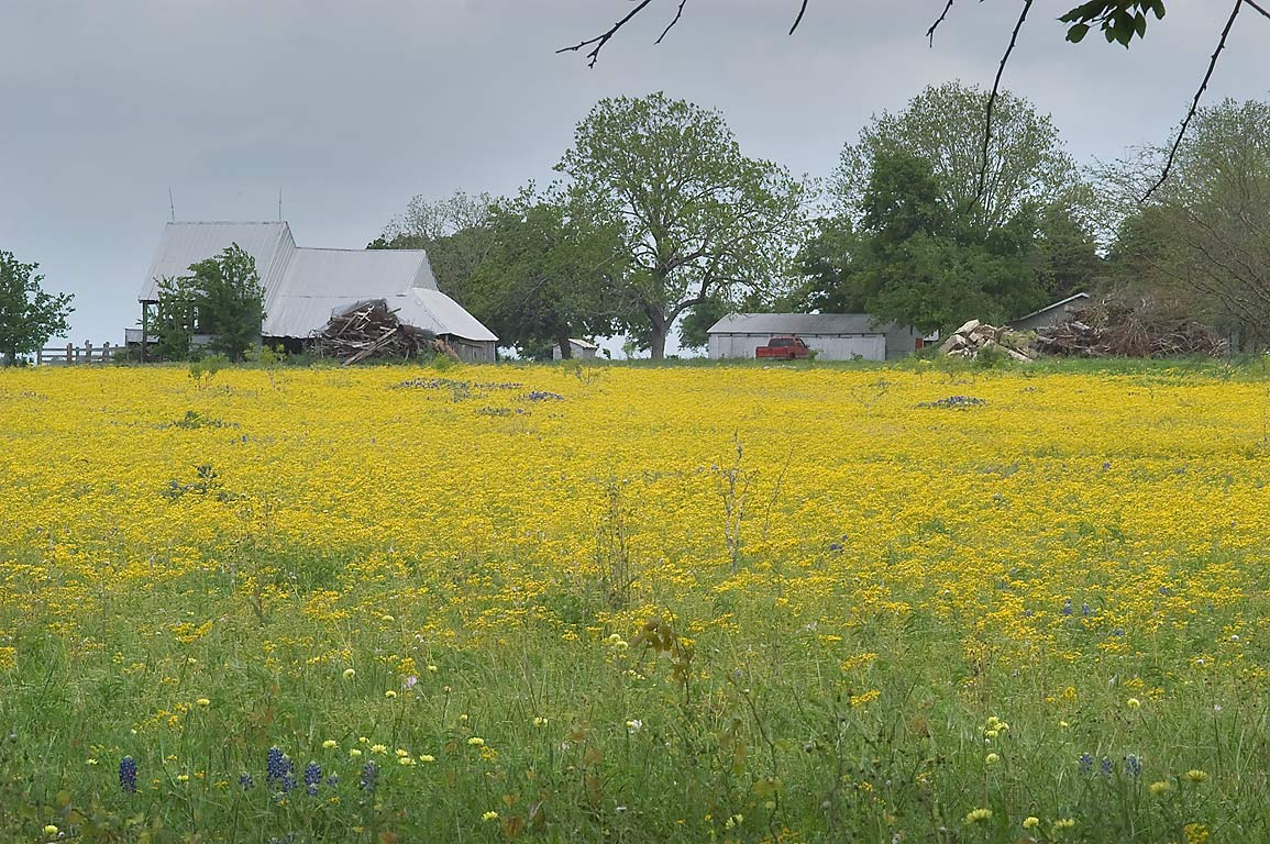 Field of yellow flowers near Industry. Texas