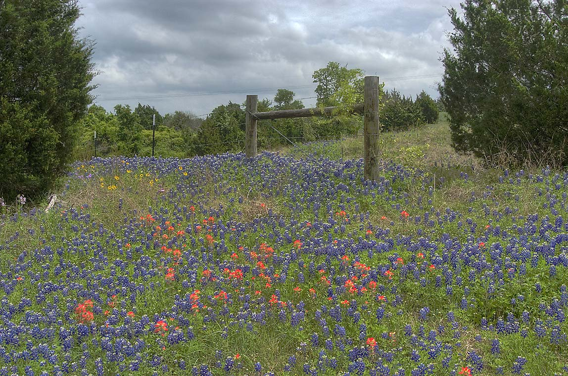 Wildflowers in area of Brenham, Texas  - View from Rd. 390 near Burton. Texas