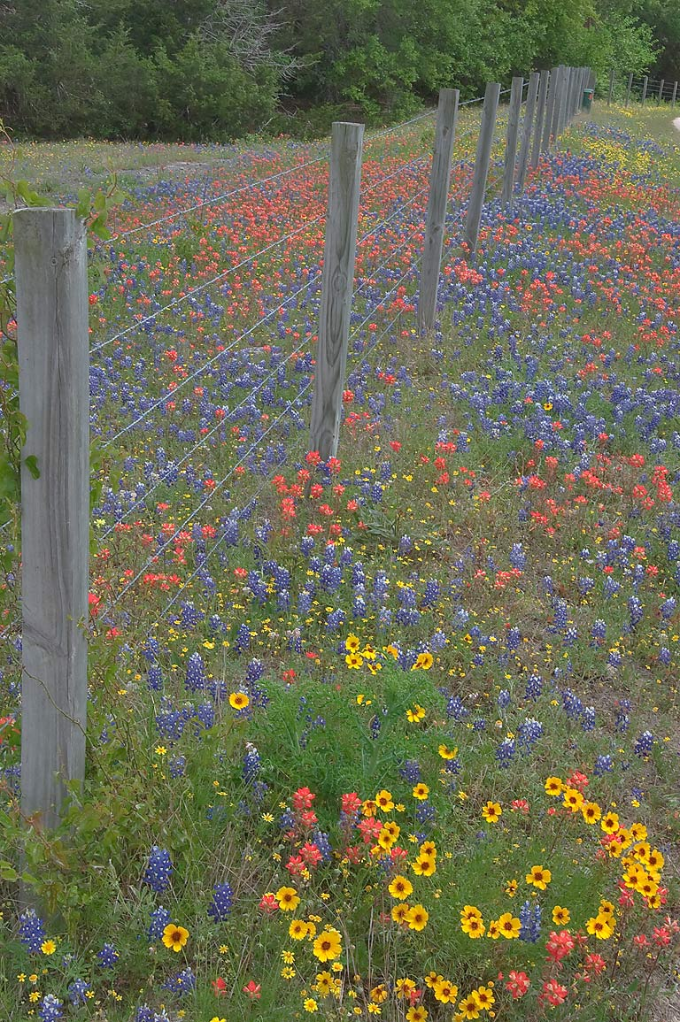 Wildflowers at Hoddeville School Rd., a corner of Rd. 390 west from Gay Hill. Texas