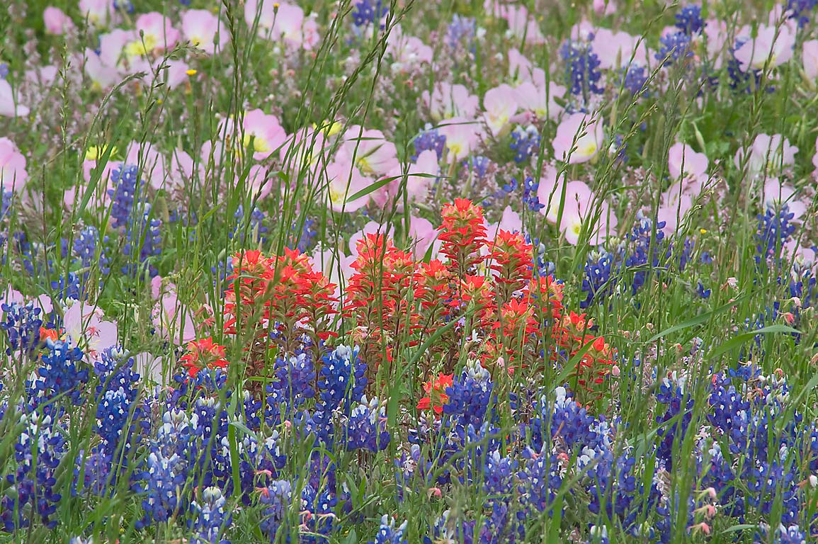 Indian paintbrush and other wildflowers from Rd. 390 east from Independence. Texas