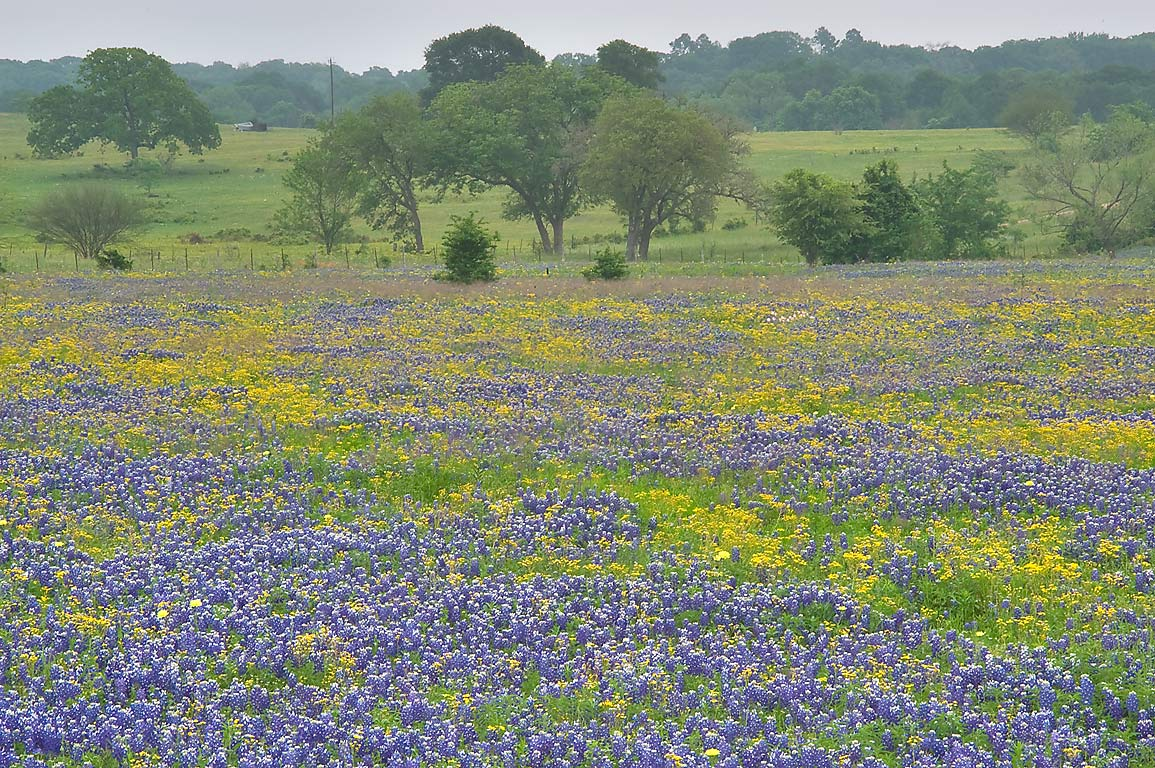 Meadow with blue and yellow wildflowers from Rd. 390 east from Independence. Texas