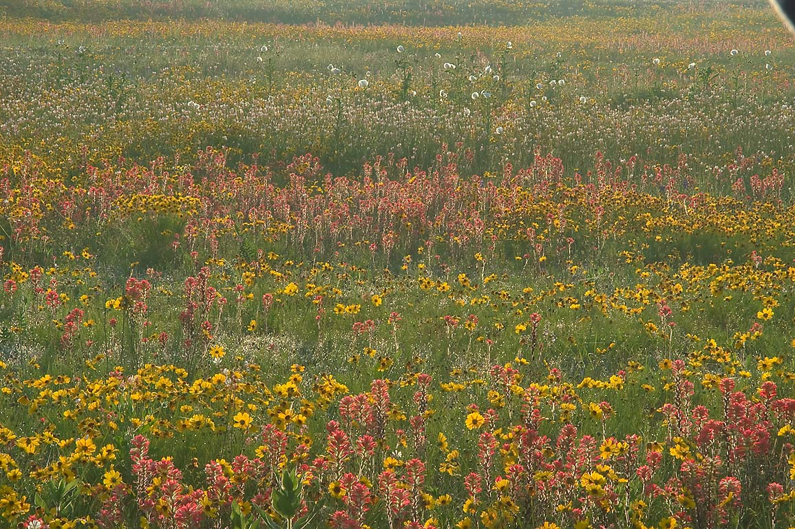 Field of yellow and orange flowers south from Rd...Old Baylor Park. Independence, Texas