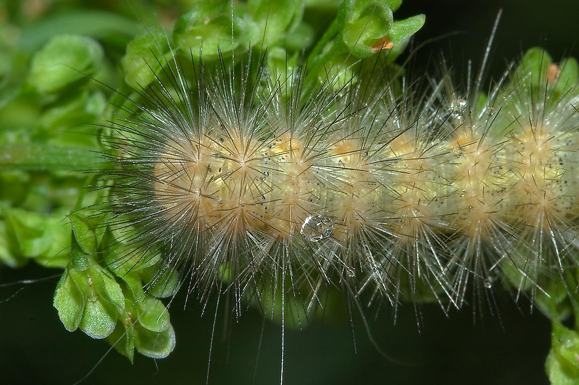 Yellow hairy caterpillar of Salt Marsh Moth...Creek Park. College Station, Texas