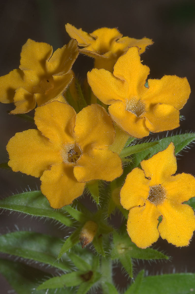 Yellow flowers of puccoon (Carolina Gromwell...in Bastrop State Park. Bastrop, Texas