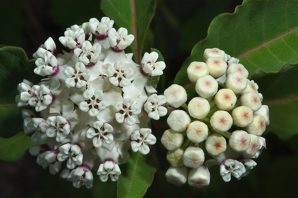 Opening flowers of white milkweed (Asclepias...National Forest. Richards, Texas