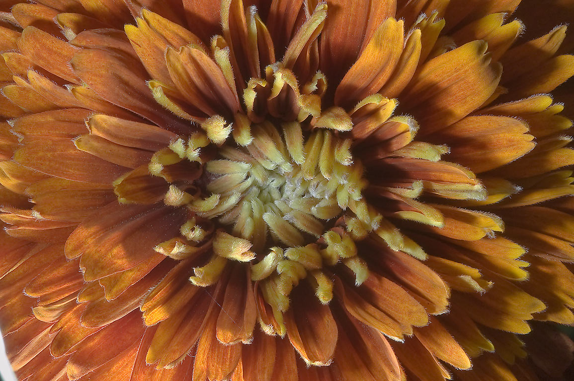 Big orange and brown flower of aster family in...M University. College Station, Texas