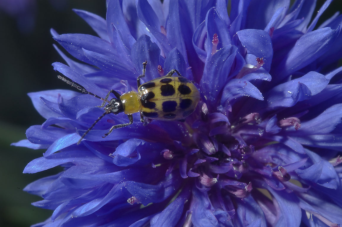 Cucumber beetle on a corn flower (Centaurea) in...M University. College Station, Texas