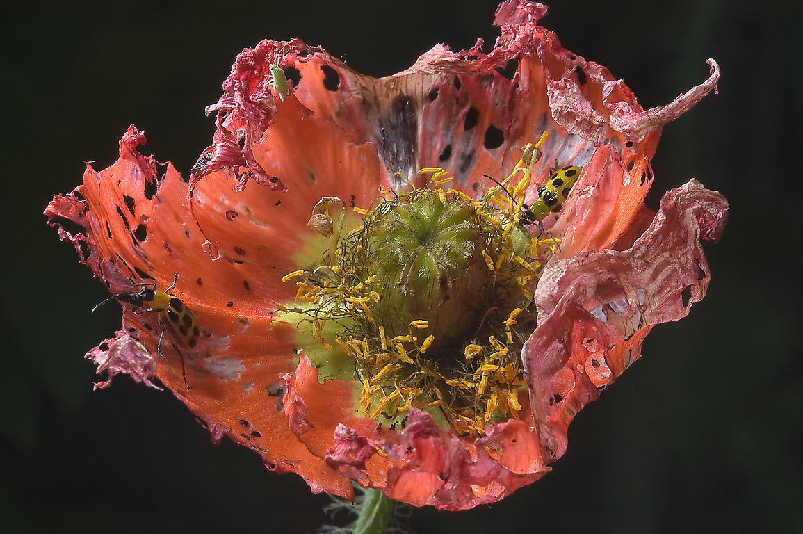 Flower of Iceland poppy damaged by cucumber...M University. College Station, Texas