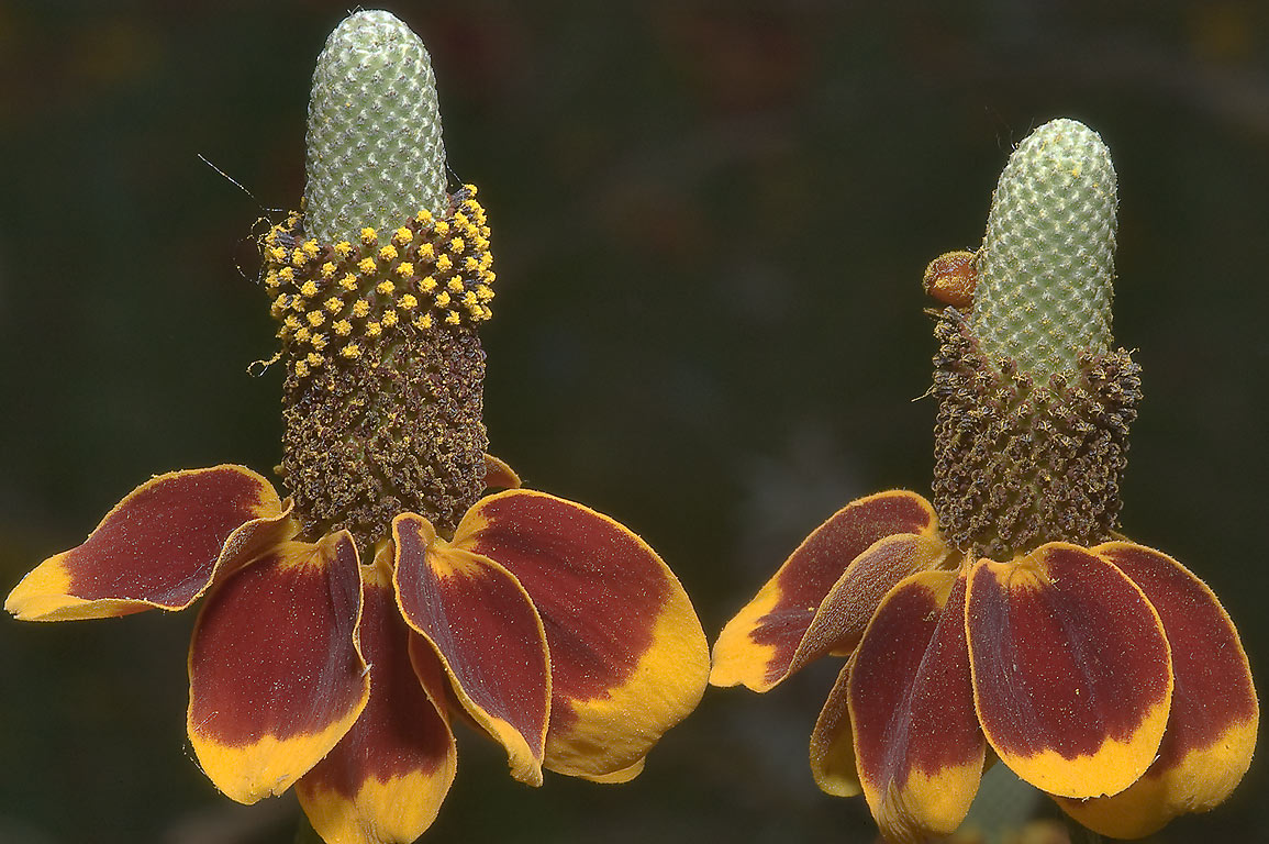 Mexican hat flowers (Ratibida columnaris) in...State Historic Site. Washington, Texas