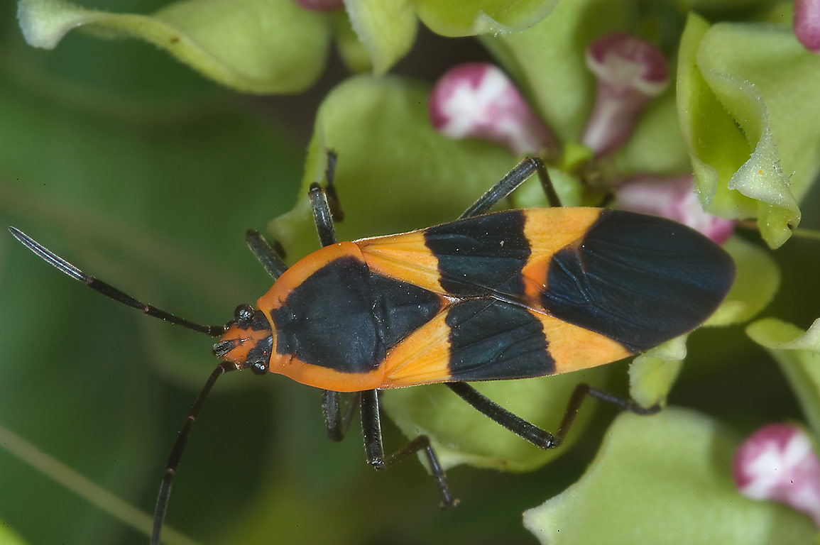 Large milkweed bug (Oncopeltus fasciatus) on...State Historic Site. Washington, Texas