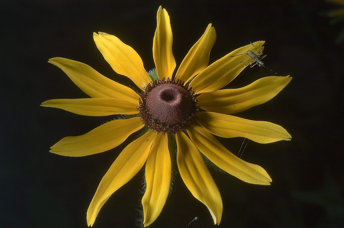Yellow flower of black-eyed susan (Rudbeckia...near Rd. 149, near Richards. Texas