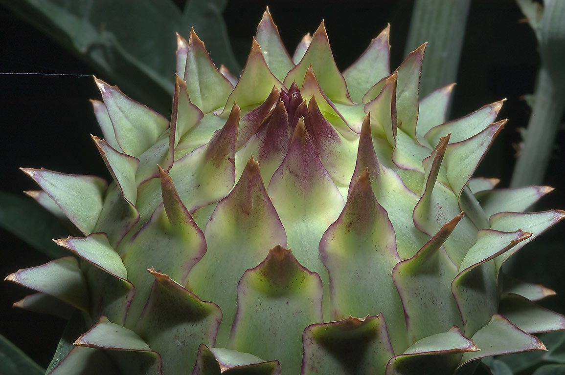 Flower bud of Artichoke thistle (Cynara...M University. College Station, Texas