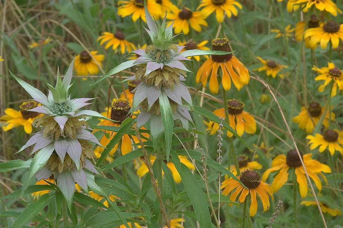 Beebalm (Monarda punctata) and black-eyed susan...State Historic Site. Washington, Texas