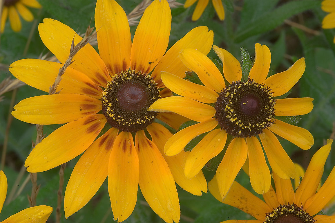 Black-eyed susan (Rudbeckia hirta) flowers in...State Historic Site. Washington, Texas