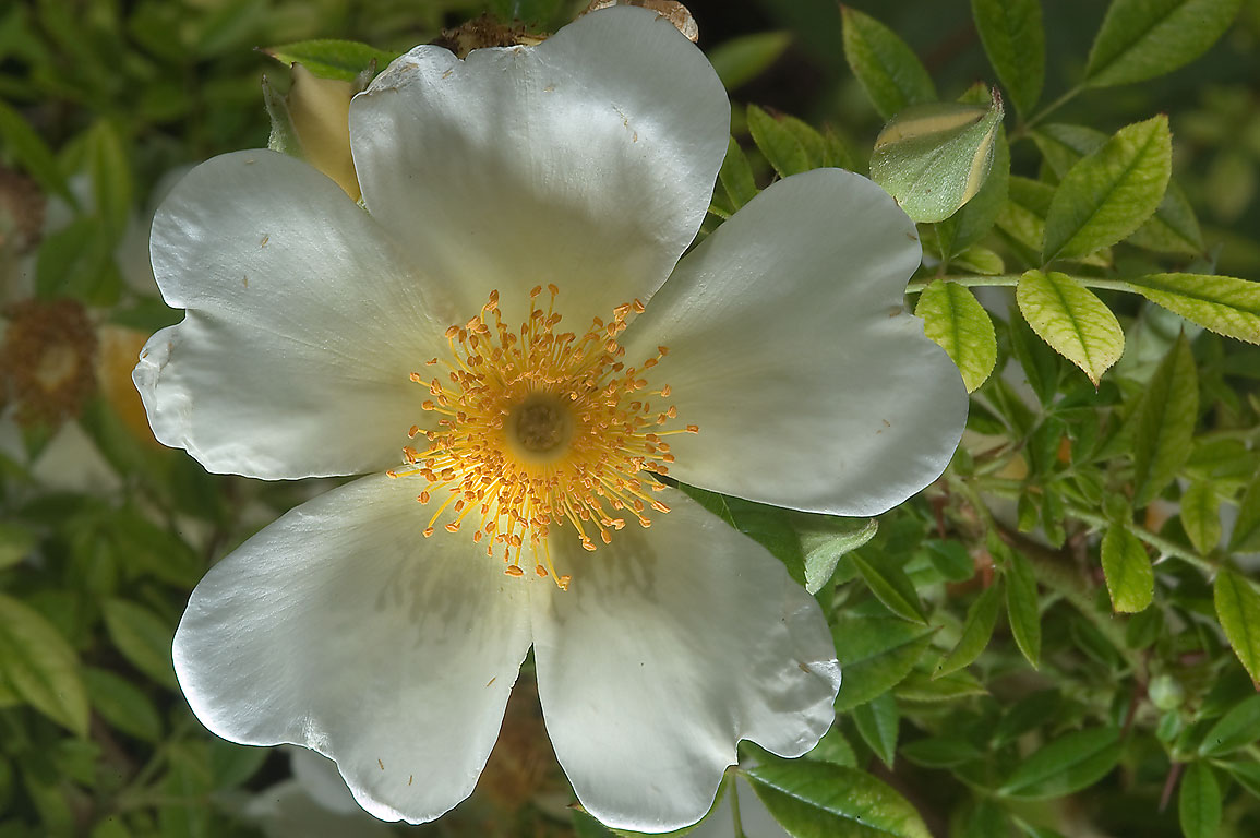 White wild rose in Antique Rose Emporium. Independence, Texas