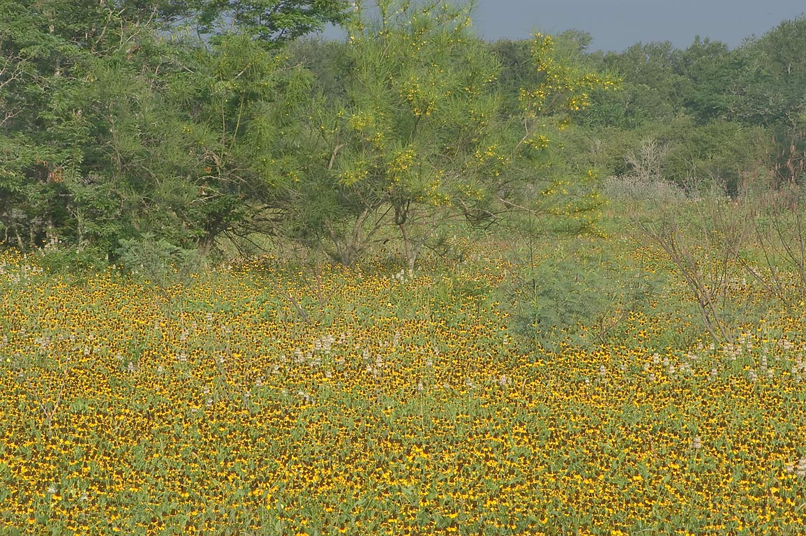 Field of black-eyed susan and blooming trees of...Rd. 50, south from College Station