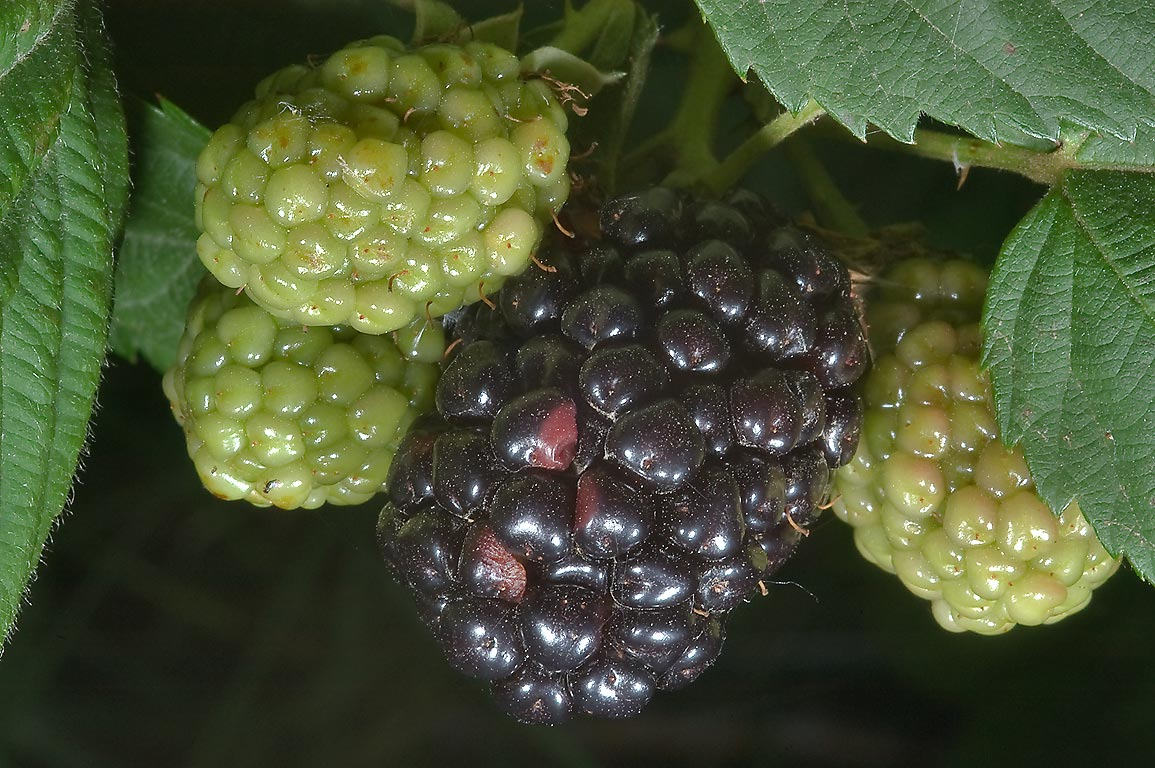 Ripening fruits of blackberry in TAMU Holistic...M University. College Station, Texas