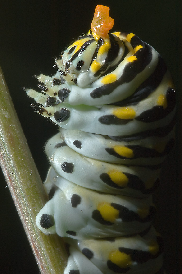 Caterpillar of black swallowtail butterfly...State Historic Site. Washington, Texas