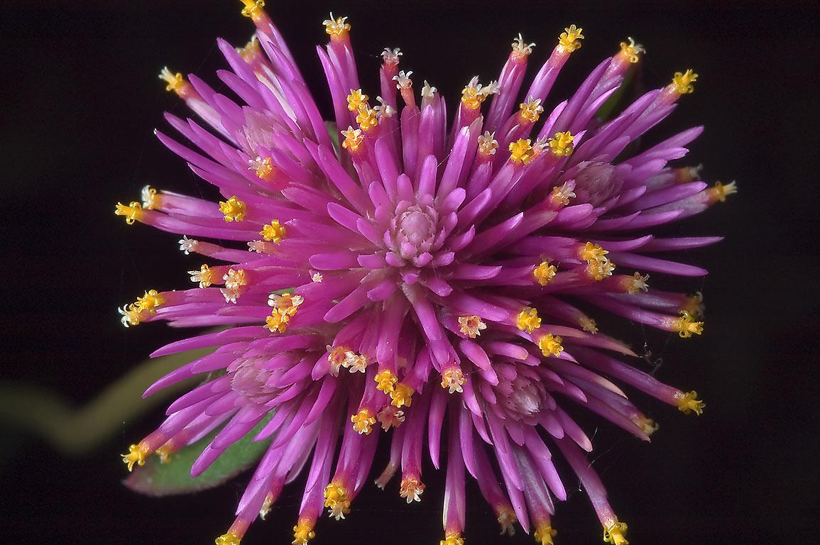 Photo 863 18 Gomphrena Fireworks Globe Amaranth In