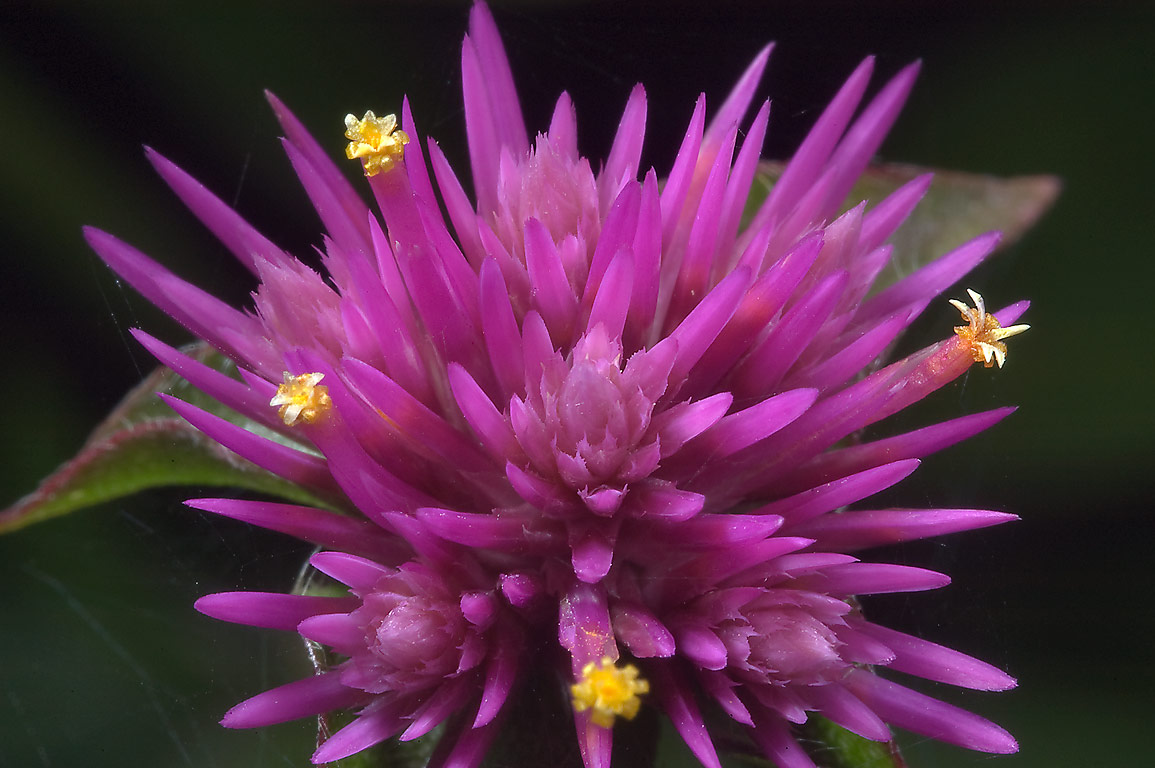 Flower of Gomphrena 'Fireworks' (globe amaranth...M University. College Station, Texas