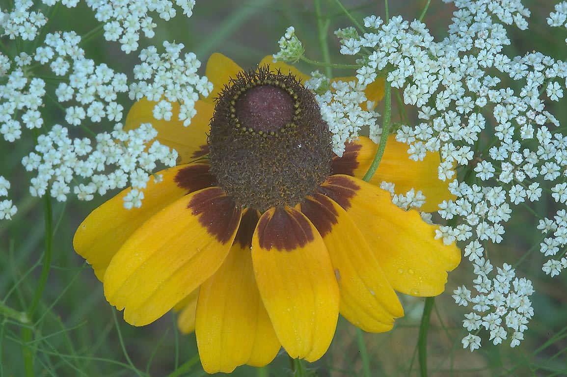 Black-eyed susan (Rudbeckia hirta) and Mock...Creek Park. College Station, Texas