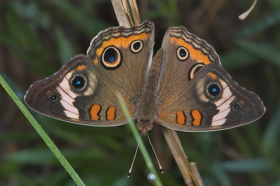Common Buckeye butterfly (Junonia coenia) in Lick Creek Park. College Station, Texas