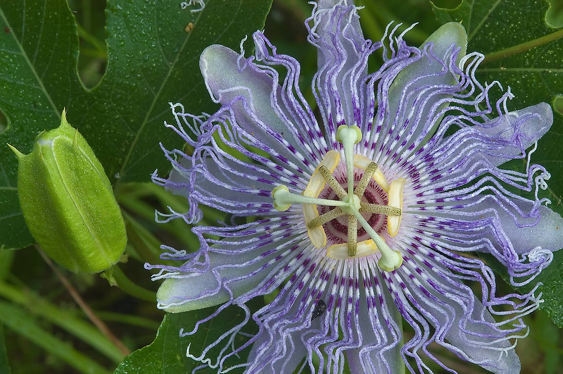 Passion flower (maypop, Passiflora foetida) in Lick Creek Park. College Station, Texas