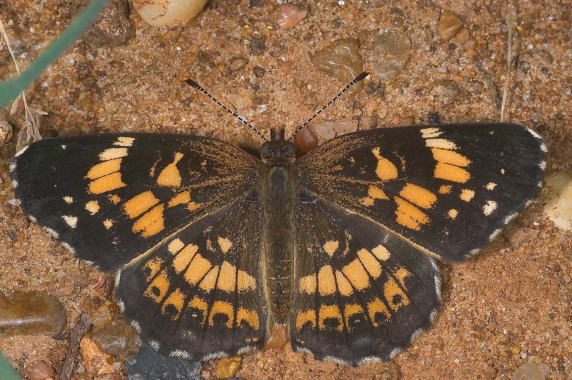 Silvery Checkerspot (Chlosyne nycteis) butterfly...Creek Park. College Station, Texas