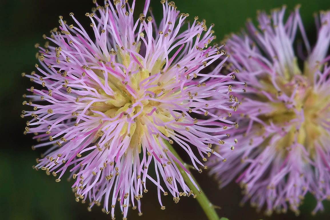Powderpuff (mimosa) flowers in Lick Creek Park. College Station, Texas